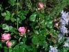 Detail - Rose_Rittersporn